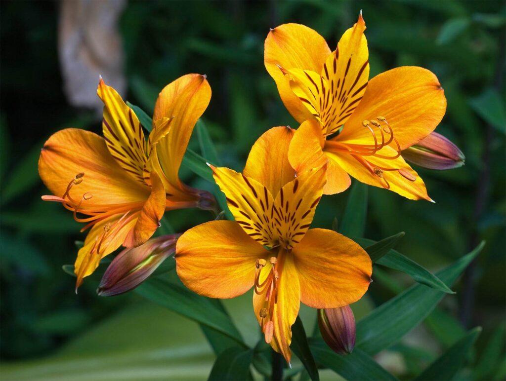 Astromélia: saiba mais sobre essa flor | Flora Horizonte